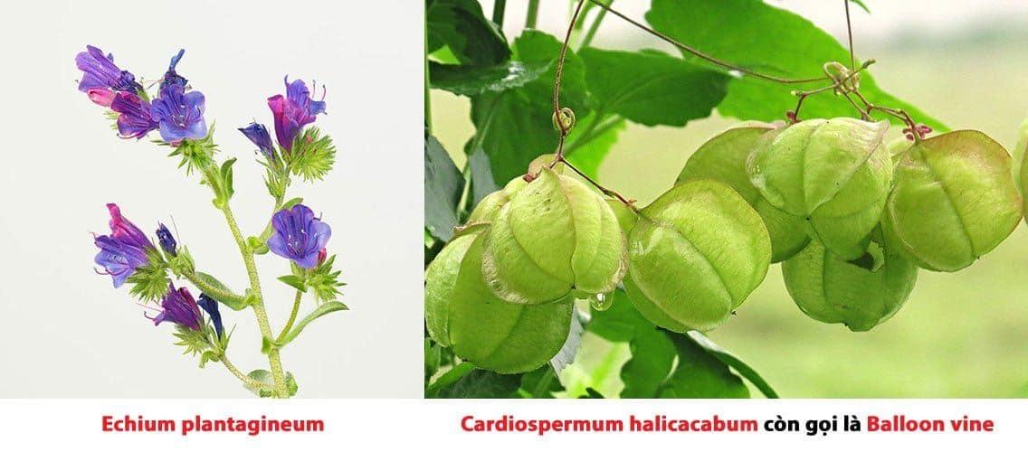 Chiết xuất hạt Echium plantagineum và cardiospermum halicacabum giảm căng thẳng và làm sáng da.